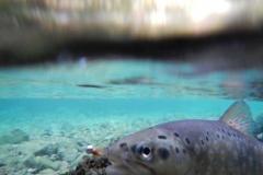 mostnica-5-potocna-postrv-brown-trout